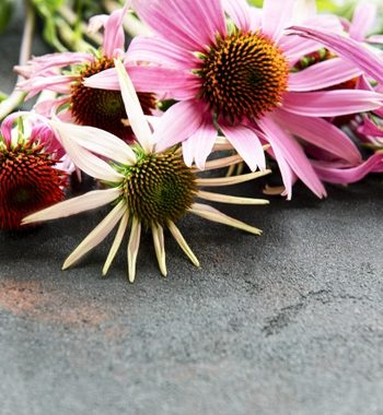 Echinacea supplement
